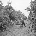 Arbeider op een citrusplantage bij Pardes bezig met het laden van een ezelswagen, Bestanddeelnr 255-1229.jpg