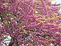 Arbre de Judée en pleine floraison.jpg