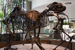 Short-faced bear - A. simus from the La Brea tar pits