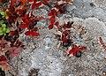 Arctostaphylos alpina.JPG