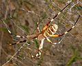 Argiope bruennichi. Araneidae. - Flickr - gailhampshire.jpg