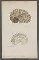 Argonauta nitida - - Print - Iconographia Zoologica - Special Collections University of Amsterdam - UBAINV0274 090 01 0014.tif