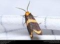 Arid Eudesmia Moth (Erebidae, Eudesmia arida) (30063677886).jpg