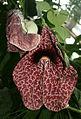 Aristolochia.jpg
