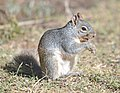 Arizona gray squirrel (Sciurus arizonensis) DSC 7994vvc.jpg