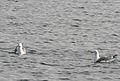 Armenian Gulls on water, Sevan lake, March 2008.jpg