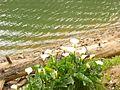 Arum lilies.jpg