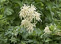 Aruncus vulgaris, Giresun 2017-07-07 01-1.jpg