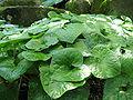 Asarum caulescens1.jpg