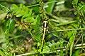 Ascalaphidae-Thattekad-2015-09-13-001.jpg