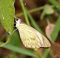 Ascia monuste. Great Southern White. (27923271297).jpg