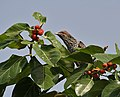 Asian Koel (Eudynamys scolopacea)- Female looking for ripe Banyan tree (Ficus benghalensis) figs in Secunderabad W IMG 6636.jpg