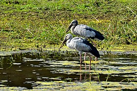 Asian Openbill Storks (Anastomus oscitans) at Tirunelveli.jpg
