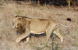 Koinophilia - Image: Asiatic lion 03