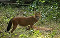 Asiatic wild dog-Cuon alpinus.jpg