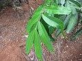 Asoka Tree - അശോകം 01.jpg