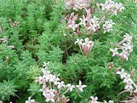 Asperula arcadiensis (rubiaceae)