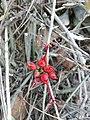 Assegaaibosch - Cadaba aphylla.jpg