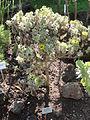 Asteriscus sericeus - Botanischer Garten, Frankfurt am Main - DSC02377.JPG
