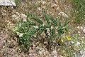 Astragalus sieversianus (Fabaceae) (33050852371).jpg