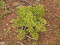 Astydamia latifolia (Barlovento) 01 ies.jpg