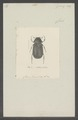 Athlia - Print - Iconographia Zoologica - Special Collections University of Amsterdam - UBAINV0274 020 03 0038.tif