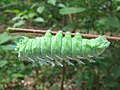 Attacus taprobanis - Atlas moth caterpillar on the leaves of Zanthoxylum rhetsa at Peravoor (5).jpg