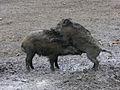Aufreiten Wildschweine Rheinau März 2012.JPG