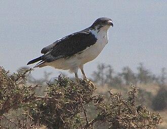 Augur buzzard - Lake Manyara, Tanzania