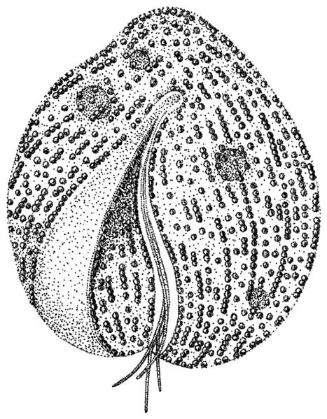 File:Auranticordis quadriverberis 6.png