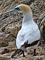 Australasian Gannet (5488500250).jpg