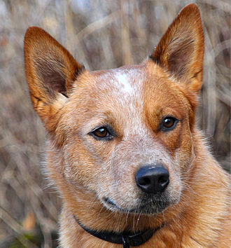 Australian Cattle Dog - A Cattle Dog with a single mask and a bentley mark shows the breed's typical alert expression.