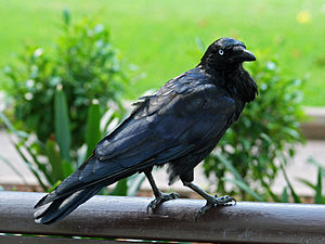 Dunghutti - Raven