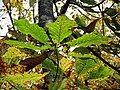 Autum Leaves Black Mountain Campground Pisgah Nat Forest NC 4407 (37238438684).jpg