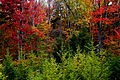 Autumn-tree-foliage - Virginia - ForestWander.jpg