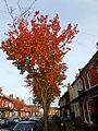 Autumn in Orchard Rd, SUTTON, Surrey, Greater London (2).jpg