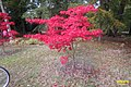 Autumn maple (WGP) (33029817915).jpg