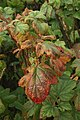 Autumnal leaves of Flowering Currant (Ribes sp.), Uyeasound - geograph.org.uk - 1509506.jpg