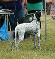 Auvergne Pointer.JPG