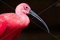 BIRD SCARLET IBIS SURINAM AMAZONE SOUTH-AMERICA (32636184210).jpg