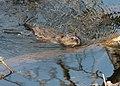 Baby Muskrat (15868460975).jpg