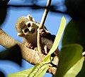 Baby Squirrel Monkey (4233061771).jpg