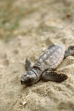 A small grey-brown turtle lies on its stomach on sand. It lies diagonally across the picture frame with its head in the lower-left corner.