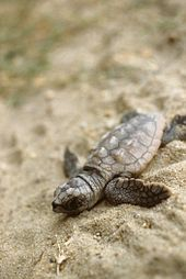 Loggerhead hatchling crawling through the sand.