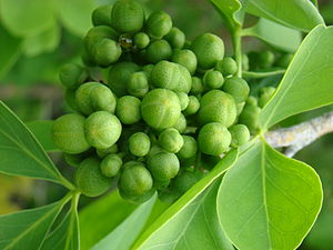 Close-up of a cluster of very young fruits han...