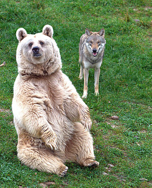 Natur- und Tierpark Goldau - A Syrian brown bear and a gray wolf coexisting in the park