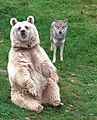 Baerwolf tierparkgoldau.jpg