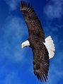 Bald-eagle-41d.jpg