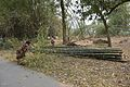 Bamboo Harvesting - Mahimapur - Murshidabad 2017-03-28 6129.JPG