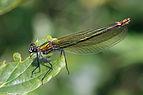 Banded demoiselle (Calopteryx splendens) female.jpg